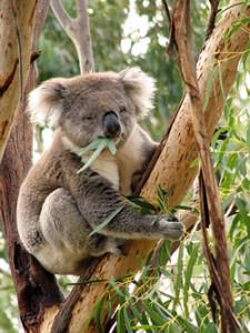 koala phillip island
